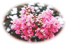 Crape Myrtle, City Flower of Tai'an