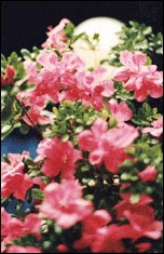 Azalea-the Flower of Changsha