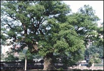 Camphor Tree-the of Changsha